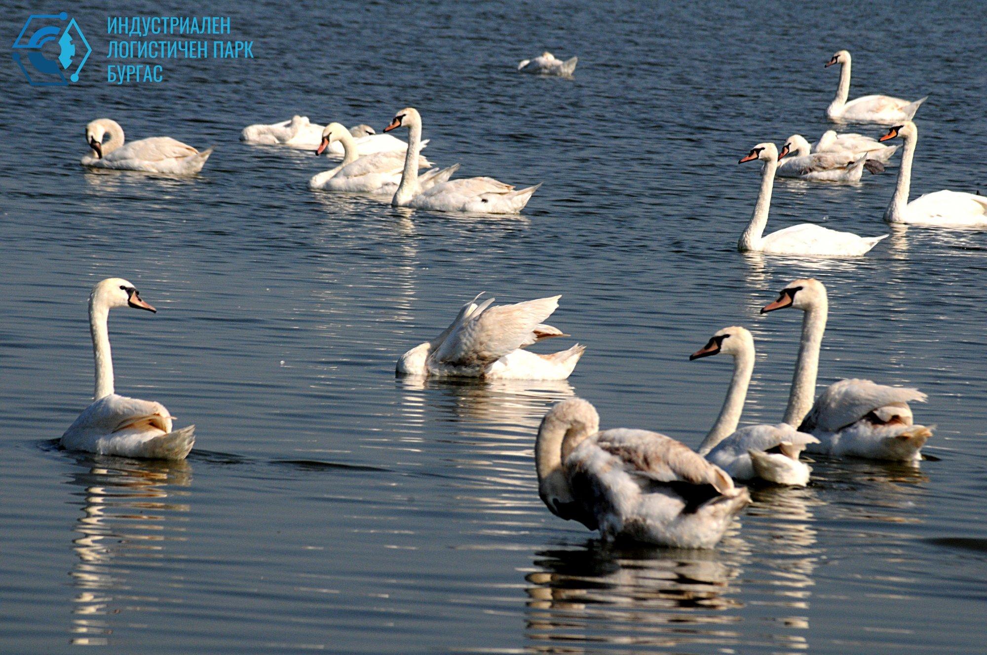Лебеди във Вая